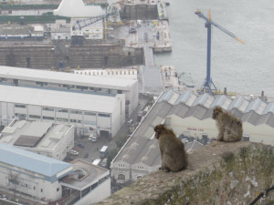 gibraltar-monkeys